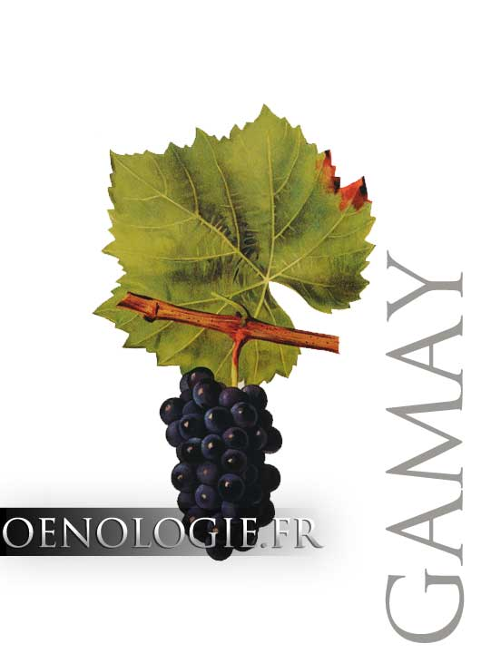 cepage gamay